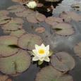 パワーズコートに咲く蓮